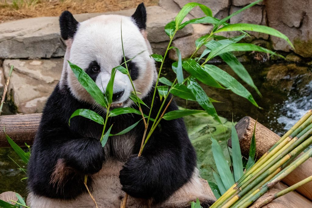 Widespread Bamboo Flowering Poses Massive Threat to Dwindling Giant Panda Population