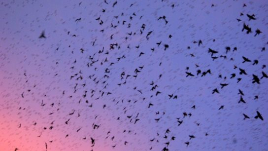 How the Climate Crisis Exacerbates Harmful Swarms of Animals