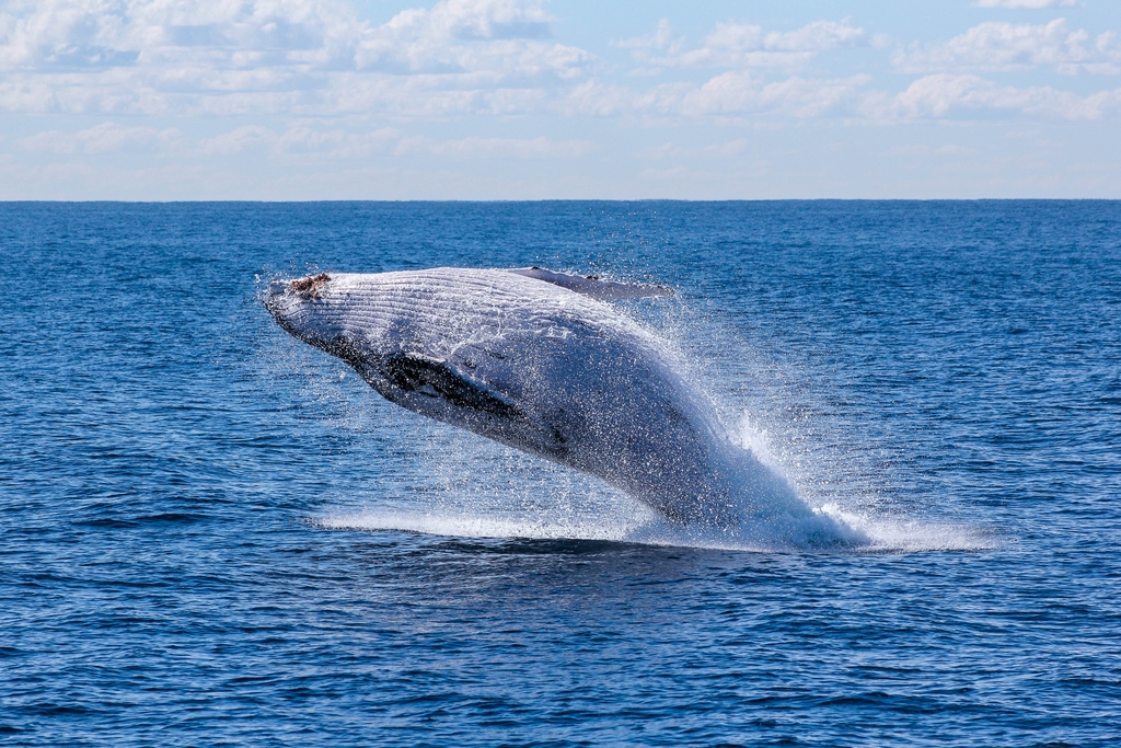 Blue Whales are Making a Comeback in the Atlantic