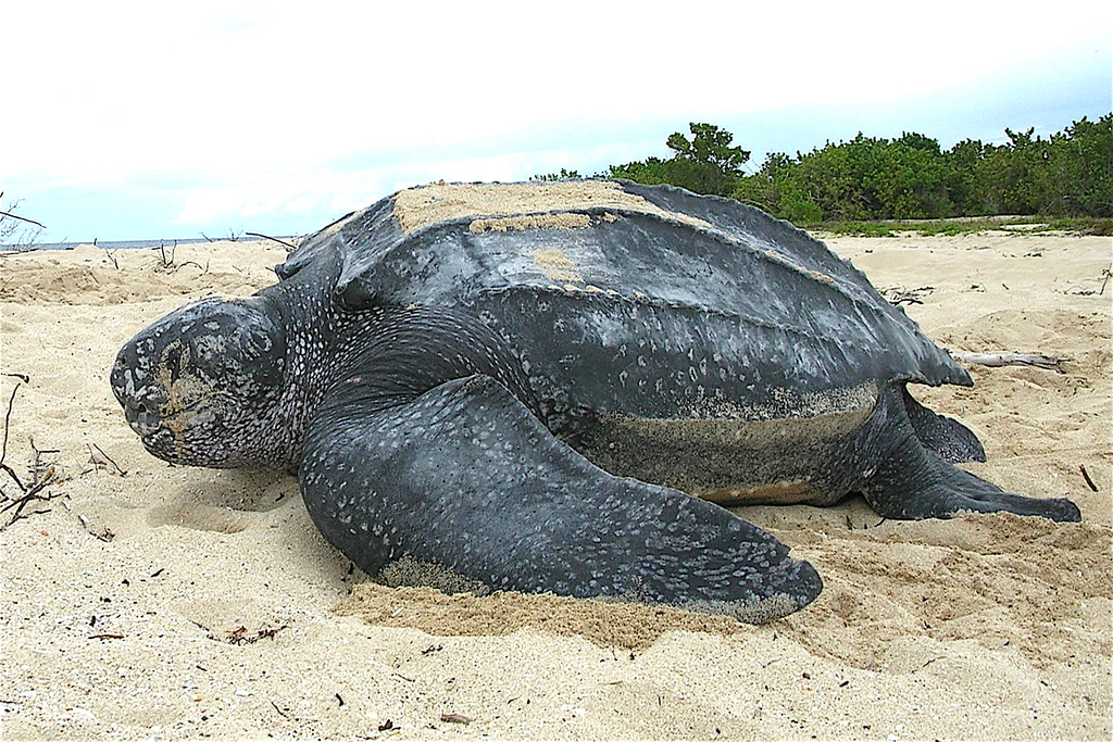 Endangered Sea Turtles Thriving Amid COVID-19 Restrictions
