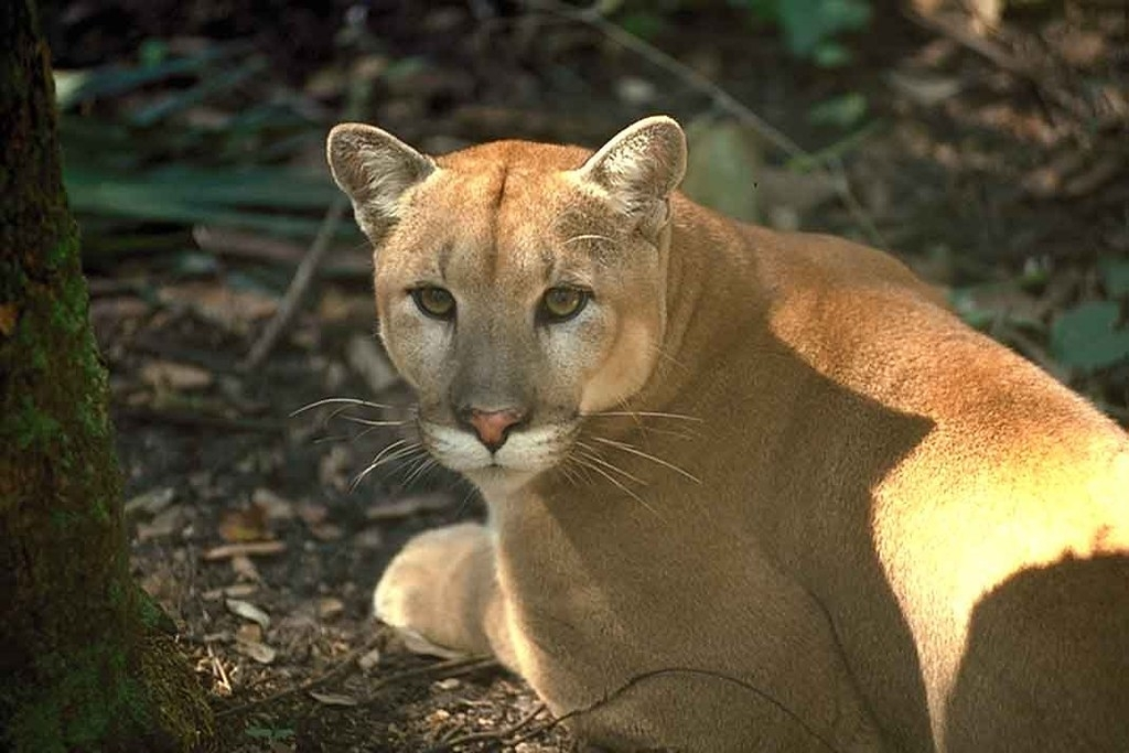 The Florida Panther: Preserving the Peninsula's Wilderness