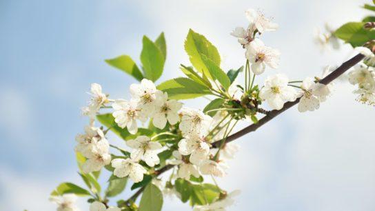 With Longer Summers, Plants Bloom (And Die) Earlier