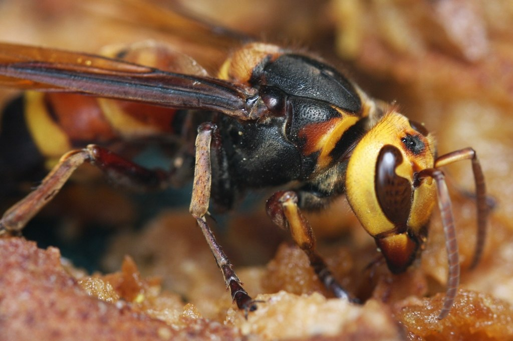 Asian Giant Hornets Have Arrived in the US- What Does This Mean?