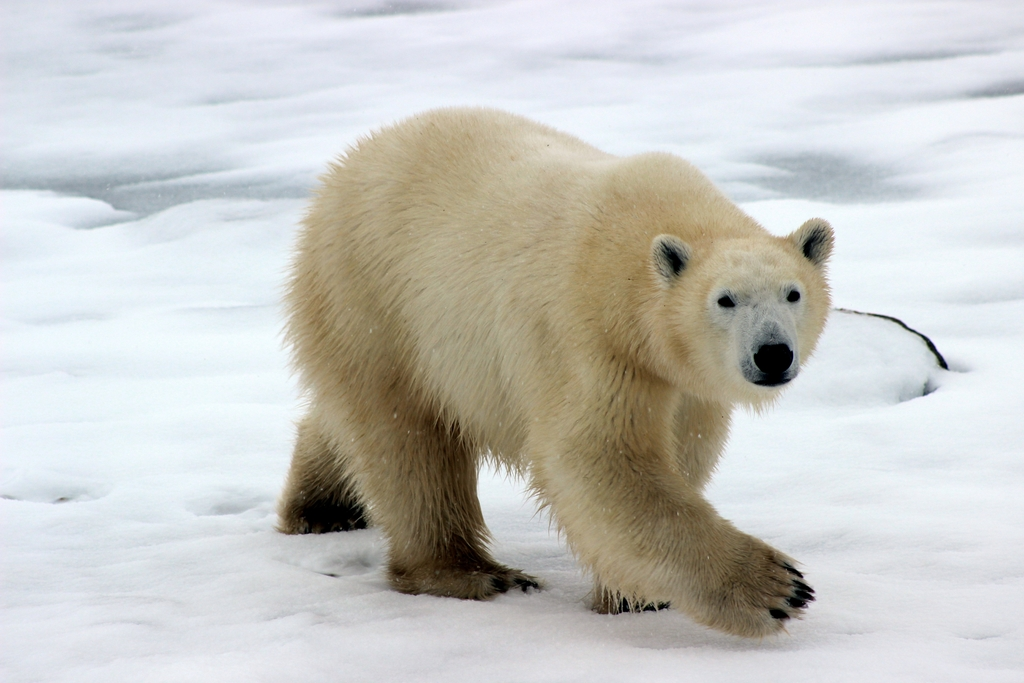 The Arctic Will Have Ice-Free Summers by Mid-Century, Escalating Sea-Level Rise