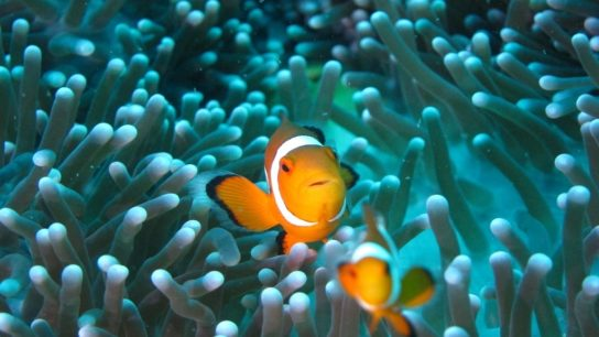 Clownfish Unable to Adapt to the Climate Crisis, Scientists Say