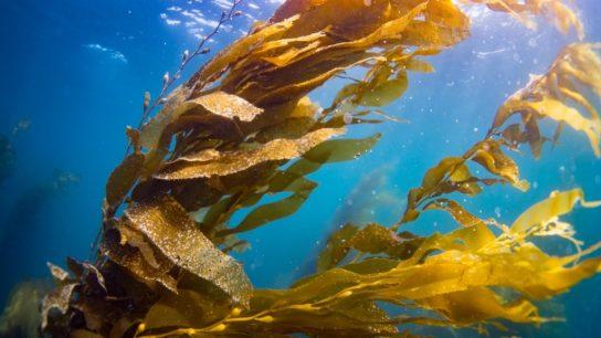 Kelp Forests: Restoring a Lifeline for the Ocean