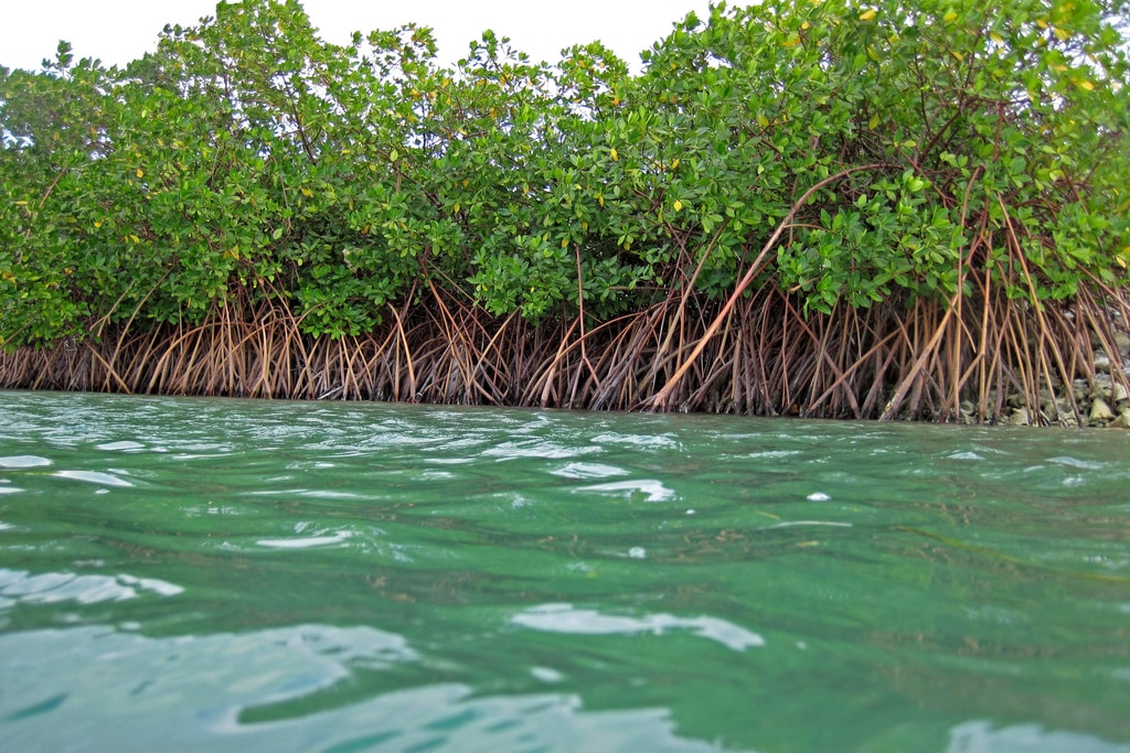 Mangrove Forests Could Disappear by 2050 if Emissions Aren't Cut