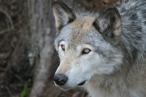 The Fall and Rise of the American Grey Wolf