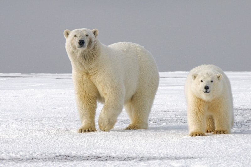 Polar Bears Heading for Extinction by 2100- Study