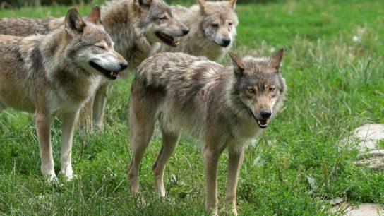 Trophic Rewilding: The Science of Reintroducing Predators Into An Ecosystem