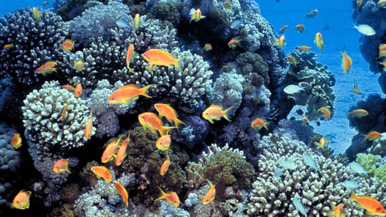 Heat-Resistant Corals Found in the Red Sea Bring Hope Amid Climate Crisis