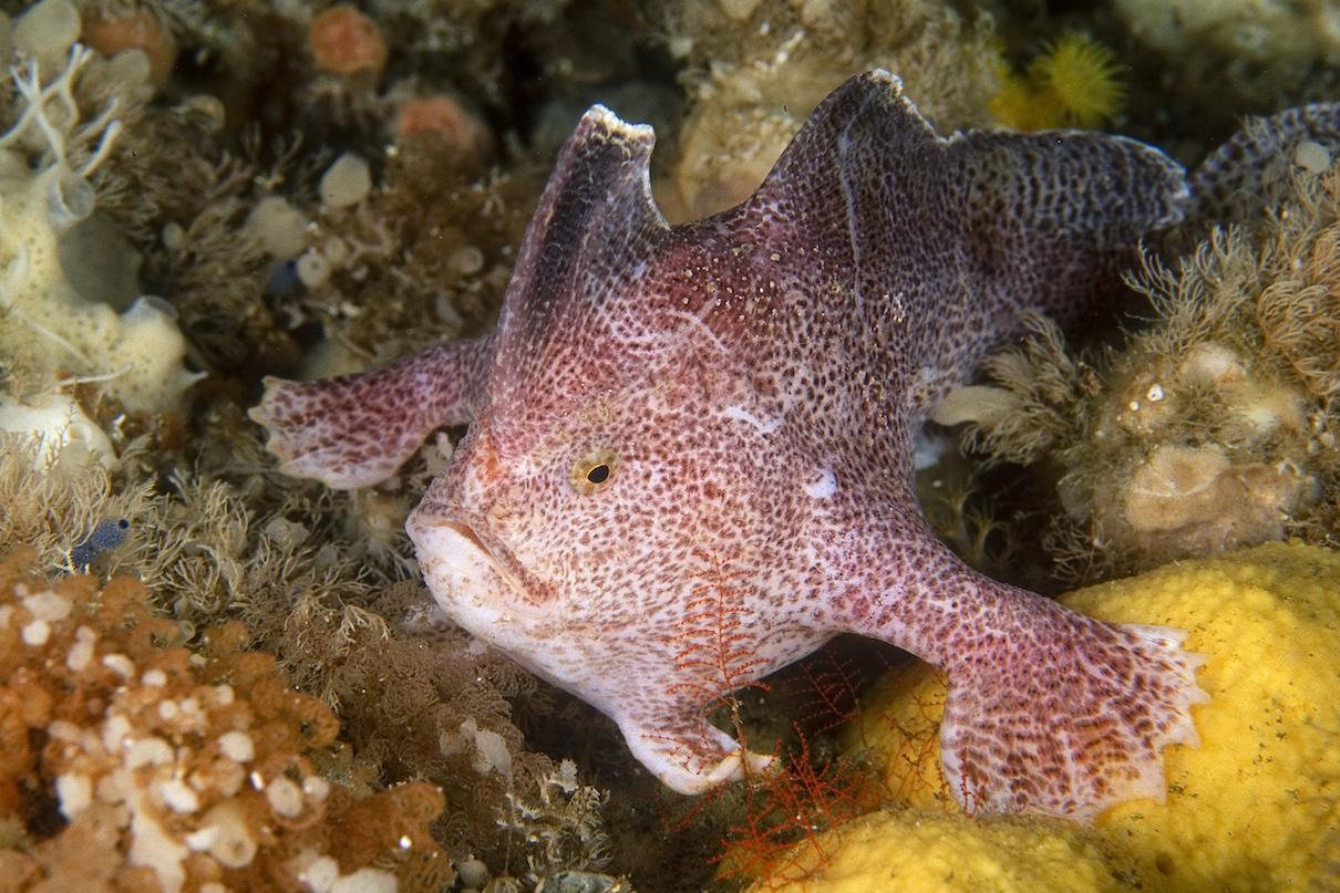 handfish extinct