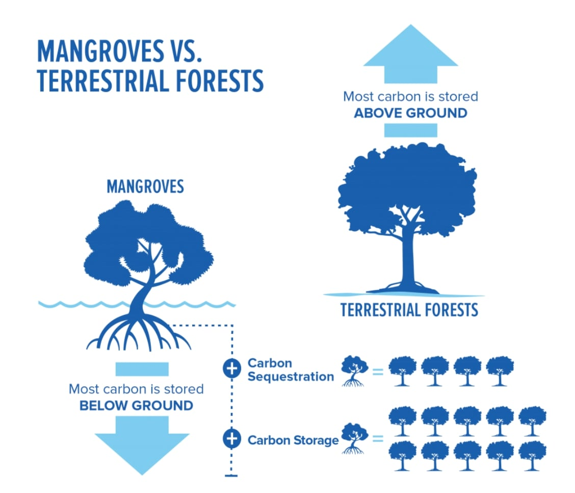 mangroves carbon sink, carbon sequestration