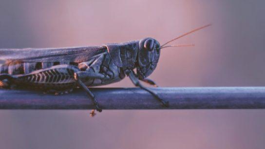 Is Climate Change Causing Locust Swarm Resurgence?