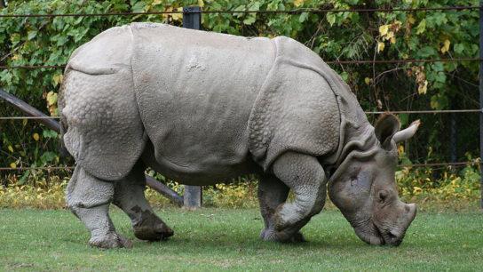 World Rhino Day: Two New Javan Rhino Calves Spotted, Bringing Population to 74