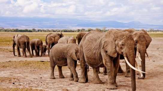 Elephants Are Booming in Kenya
