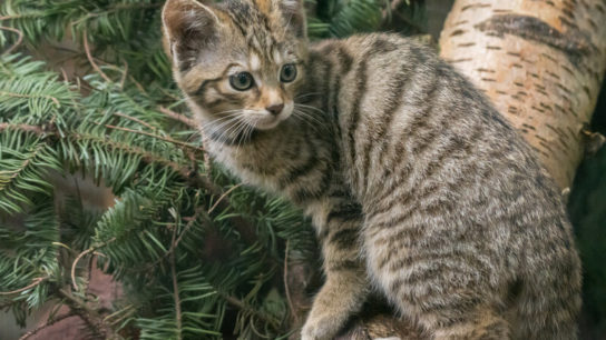 Endangered Wildcat Kittens Born At UK Wildlife Park
