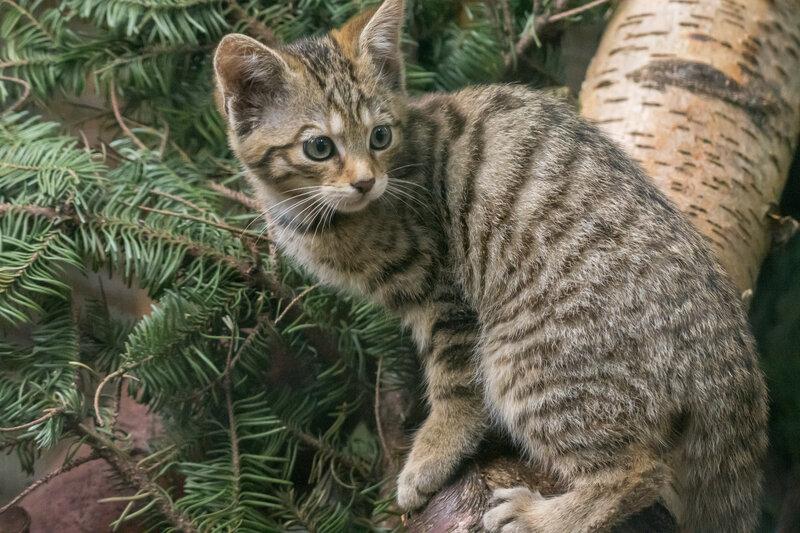 Endangered Wildcat Kittens Born At UK Wildlife Park