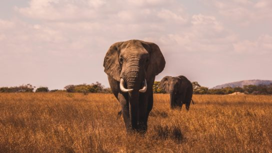 Illegal Elephant Poaching in Africa