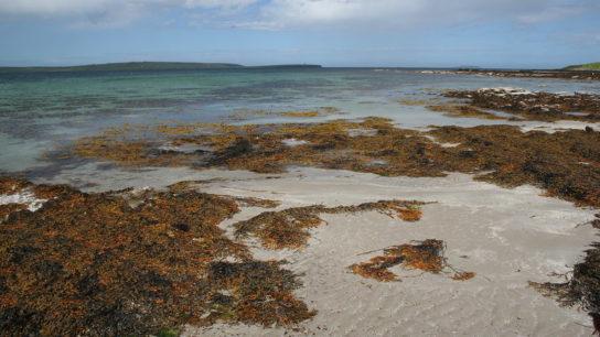 Entangled: How a Global Seaweed 'Plague' Threatens West Africa's Coastline