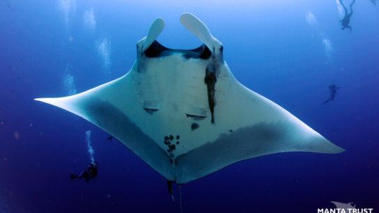 300kg Haul of Manta Ray Gill Plates Seized in Hong Kong Highlights Sri Lanka's Unsustainable Fisheries