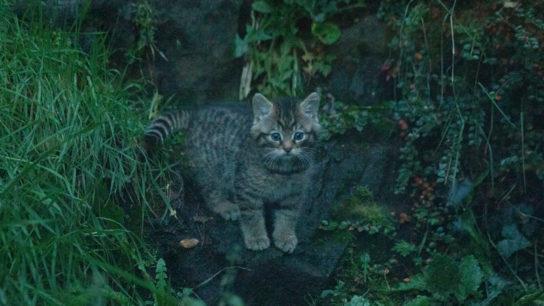 Critically Endangered Wildcat Kittens Born at Edinburgh Zoo
