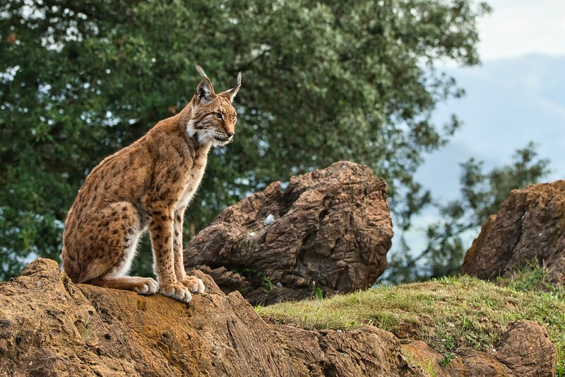 The Iberian Lynx Bounces Back From The Brink Of Extinction