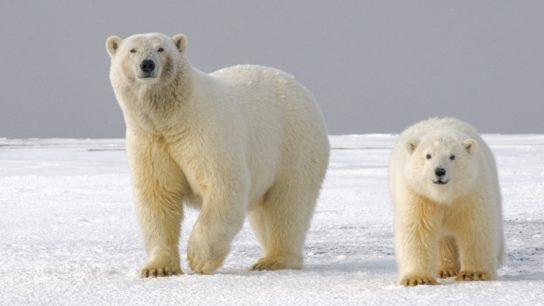 The Effect Of Sea Ice Decline On Polar Bear Habitats