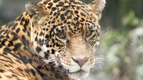 Rewilding Project Sees Jaguars Return to Wetlands in Argentina