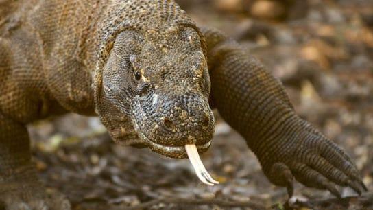 Plans to Build a Tourist Park in Indonesia Threaten the Endangered Komodo Dragon