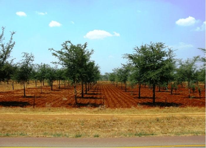 zambia trees
