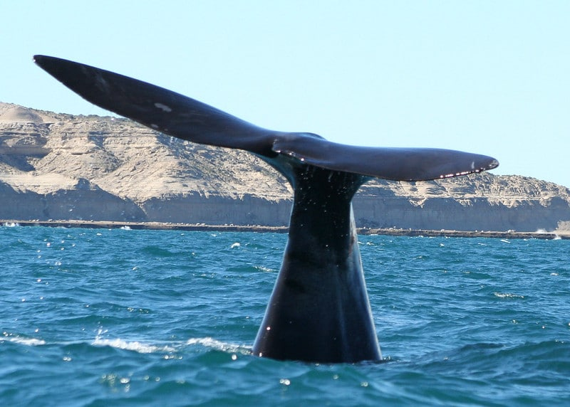 Endangered Right Whale Populations are Rebounding