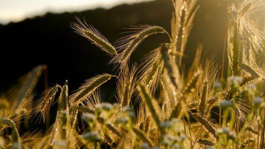 Genetically Modified Crops – Friend Or Foe?