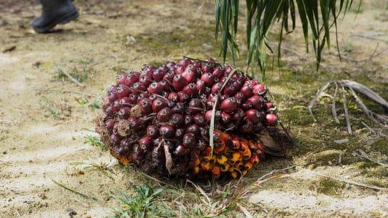 Sri Lanka to Ban Palm Oil Imports, Raze Plantations Over Environmental Concerns