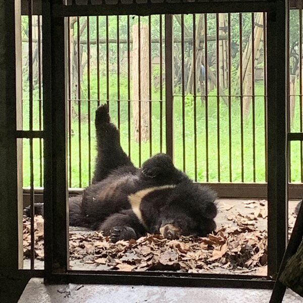 An Organisation Working to End Bear Bile Farming Has Moved 101 Bears to its Sanctuary in China