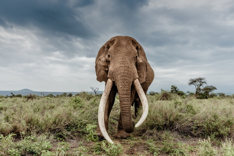 Poaching Declines in Tanzania Following Prosecution of Ivory Trafficking Ringleaders