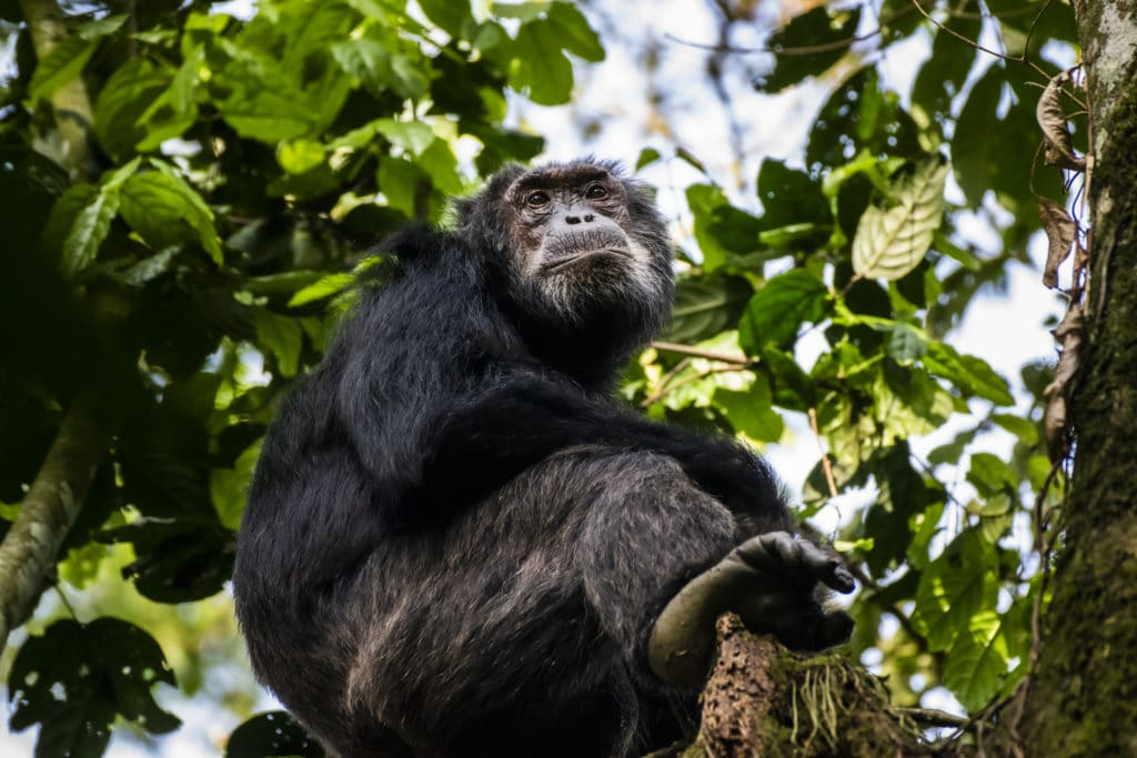 10 Interesting Facts You Didn't Know About Chimpanzees