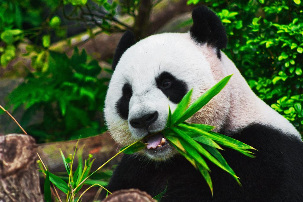 Giant Pandas are No Longer Critically Endangered in the Wild, Reclassified as Vulnerable