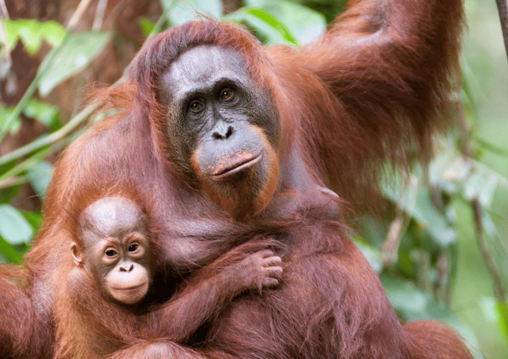 10 Fascinating Facts about Orangutans   International Orangutan Day