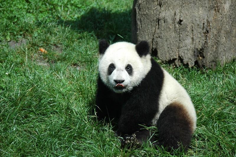 giant pandas, baby panda