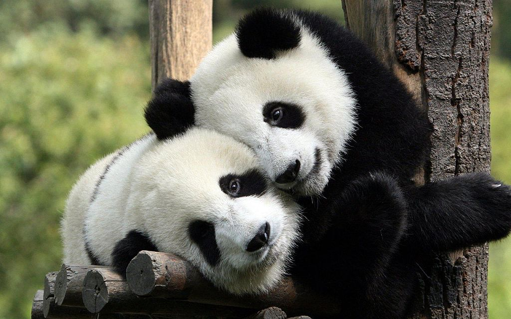 Should Giant Pandas Be Downgraded from Endangered Species to Vulnerable?