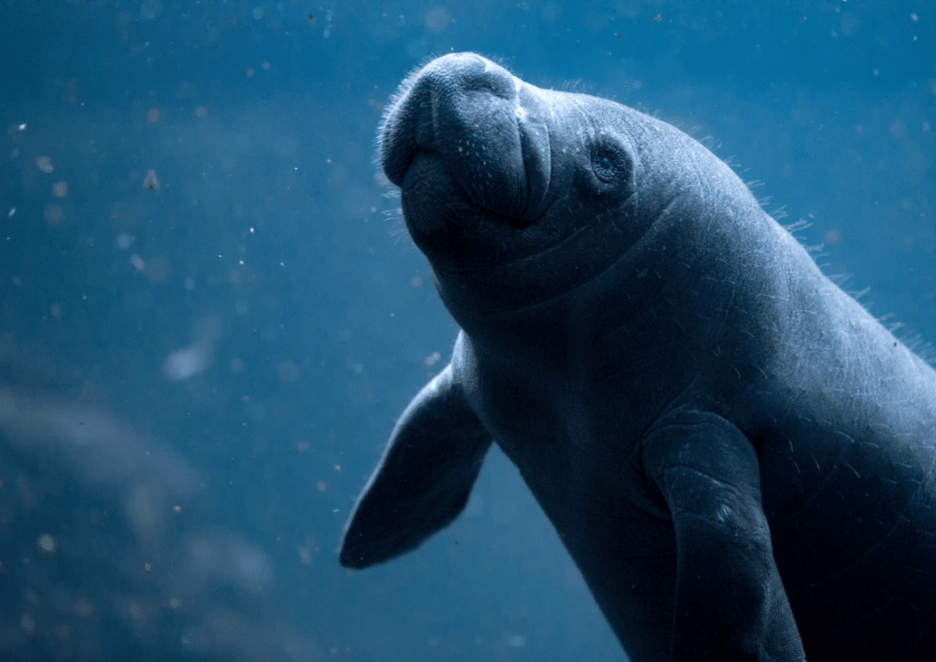 Amid Human-Induced Climate Change, the Florida Manatee Faces an Uncertain Future