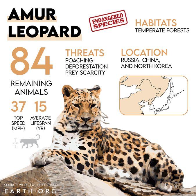 amur leopard endangered animals species 6th mass extinction