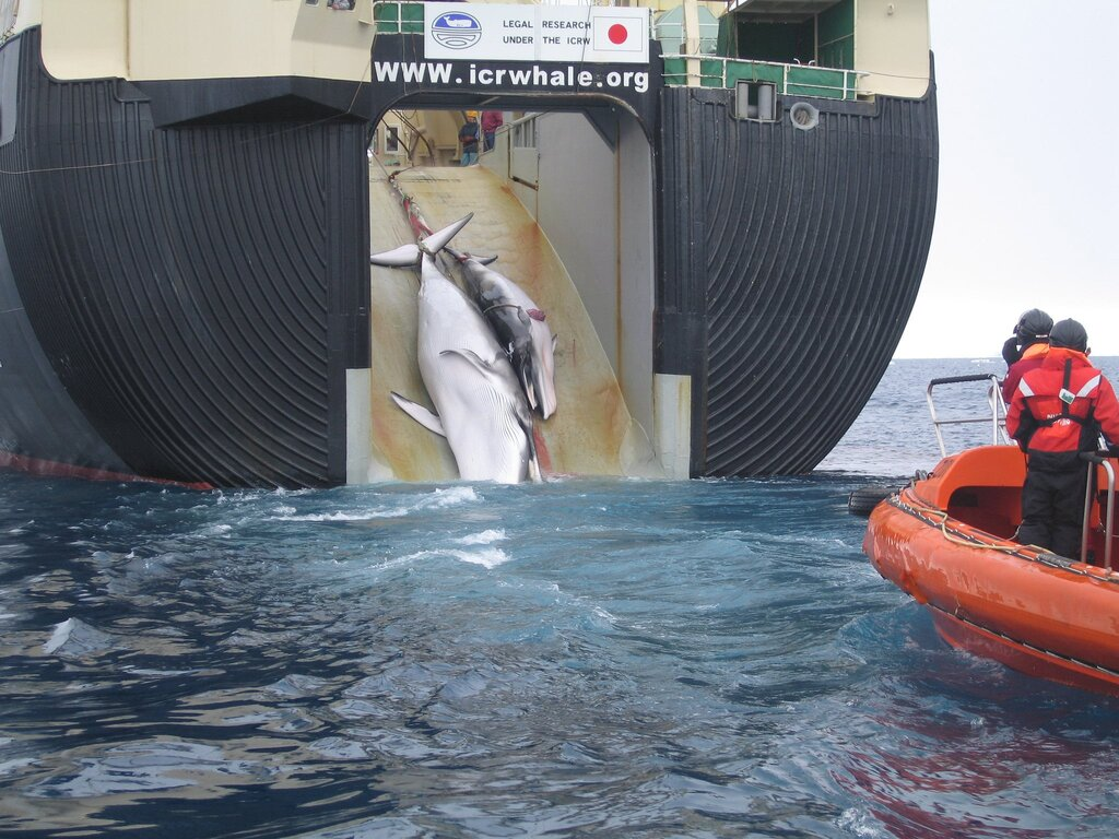 Whaling Resumes in Japan and the Consequences of It