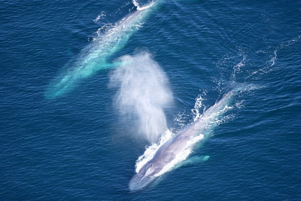 Blue Whales Return to the Atlantic Coast in Spain After 40-Year Absence