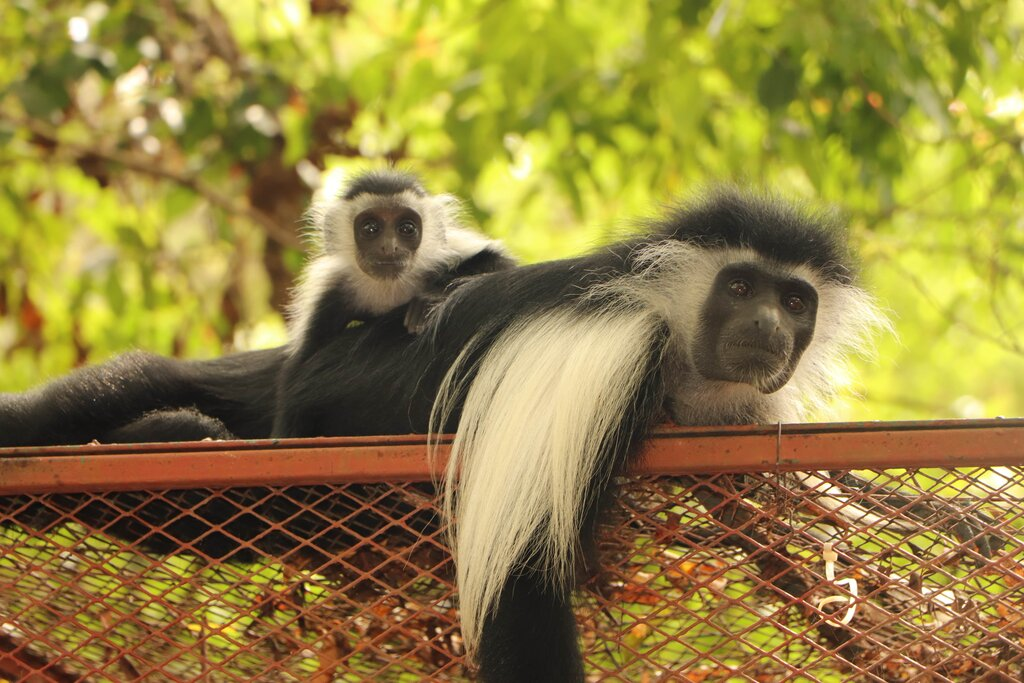 Electrocutions Among The Leading Causes of Mortality for the Colobus Monkey