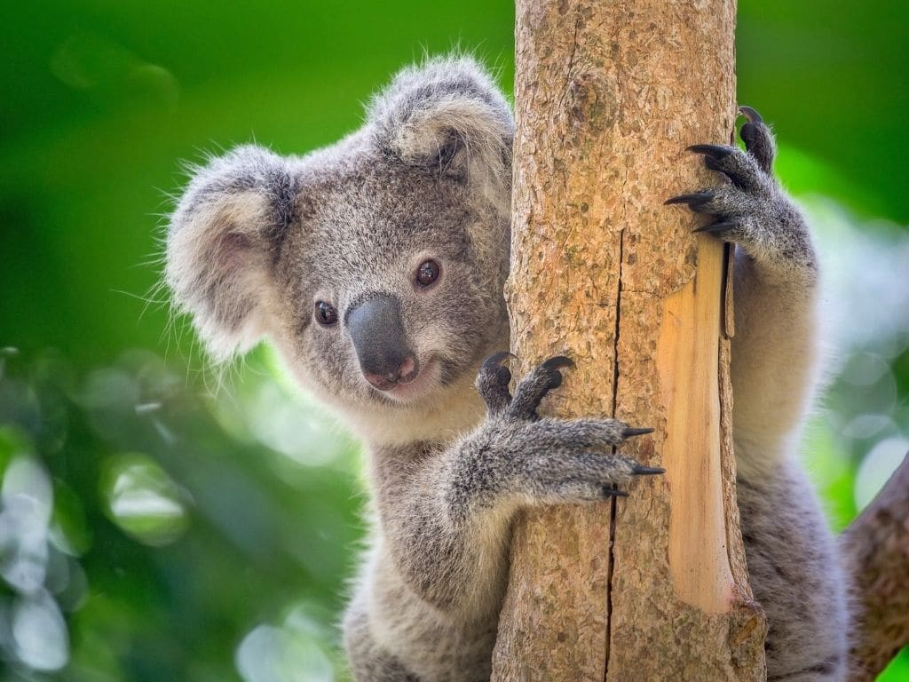 Australia Has Lost a Third of Its Koala Population in Just Three Year's Time