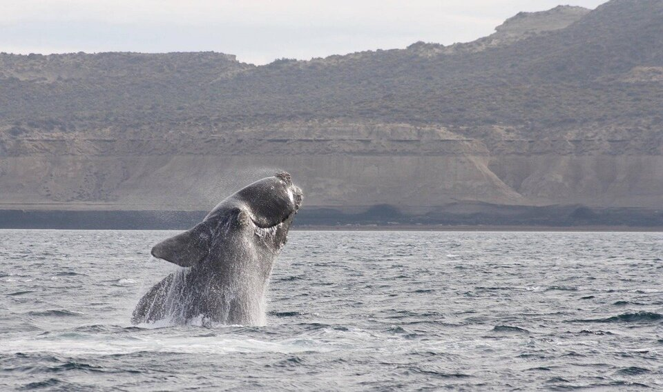 Will 'Ropeless' Fishing Gear Save the Endangered Right Whale?