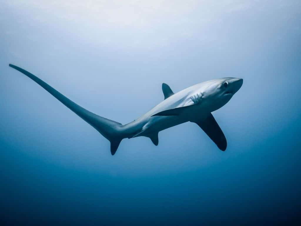 How Endangered Thresher Sharks in Indonesia are Recovering by Empowering Local Fishermen