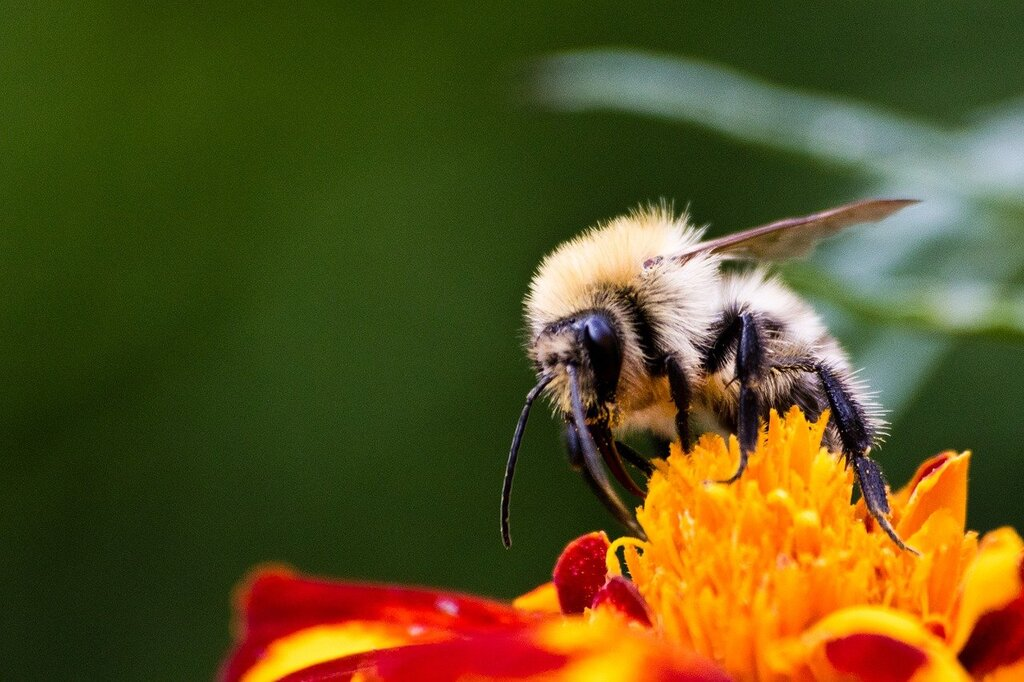 The American Bumblebee Population Has Dropped By 90% Within 20 Years